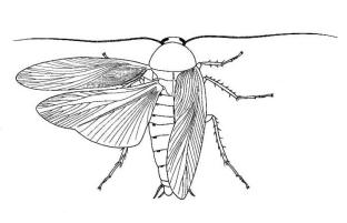 cockroach-big